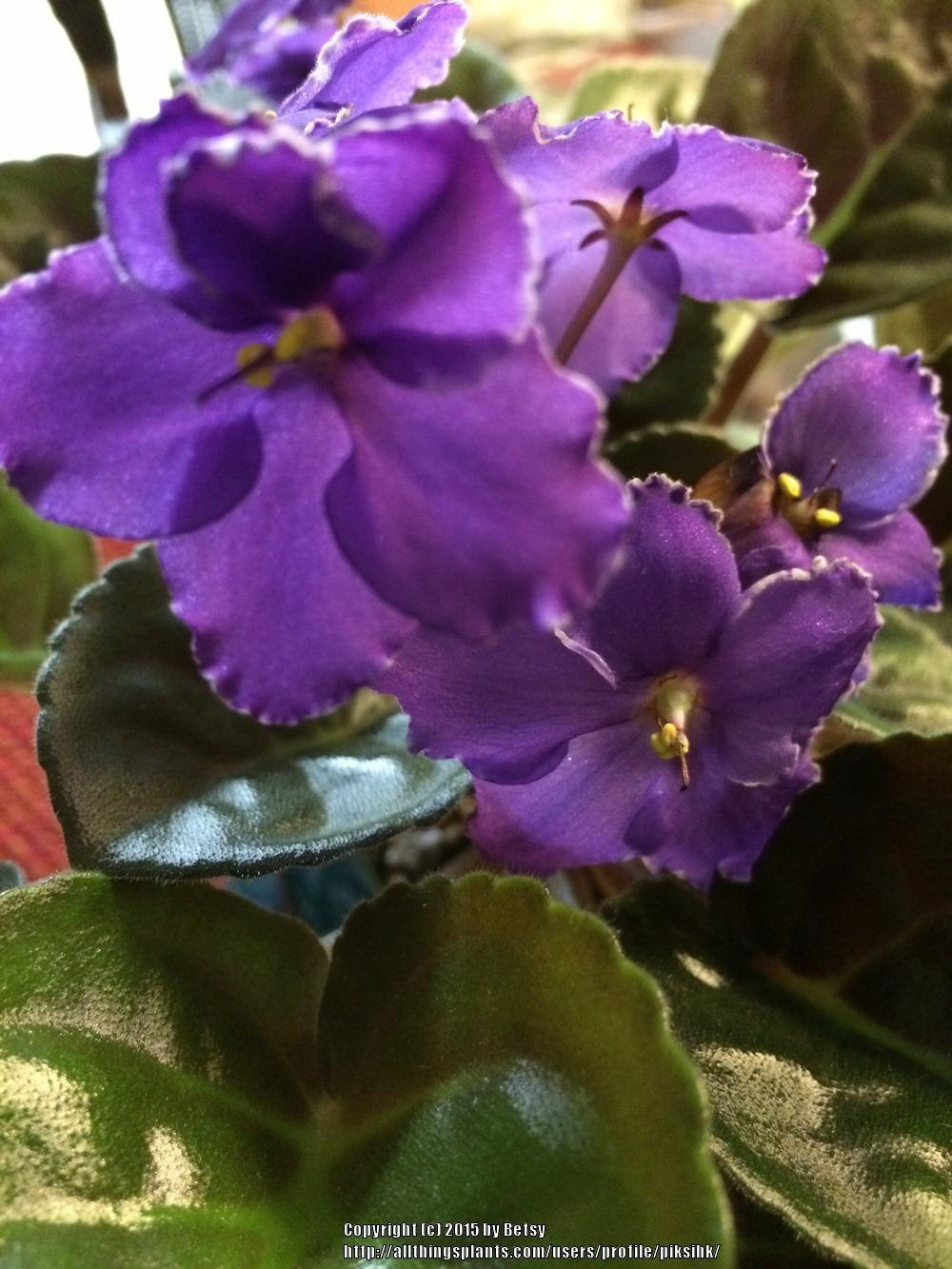 Photo of African Violets (Saintpaulia) uploaded by piksihk
