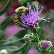 Location: My Garden, UtahDate: 2015-08-25#Pollination