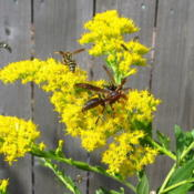 Location: central IllinoisDate: 2015-09-17Pollinators