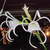 Location: central IllinoisDate: 2015-09-19Blooming indoors