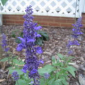 Location: Concord, NC zone 7Date: 2015-09-15Salvia farinacea