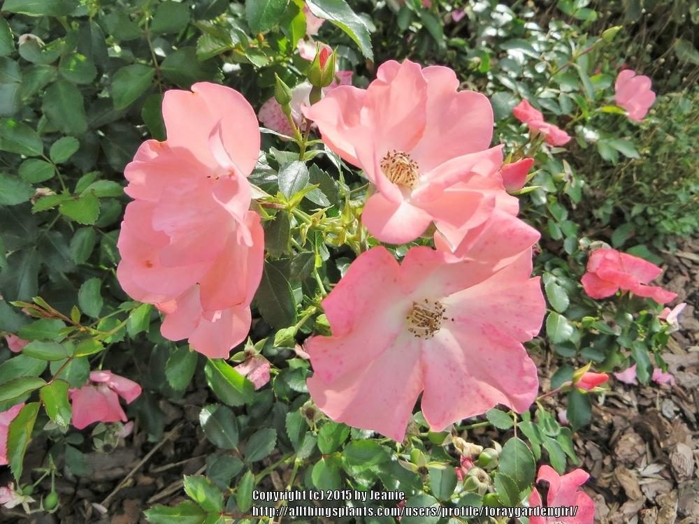 Photo of Rose (Rosa 'Flower Carpet Coral') uploaded by foraygardengirl