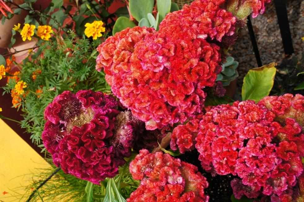 Photo of Cockscomb (Celosia argentea 'Armor Mix') uploaded by skylark