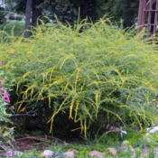 Location: Lincoln NE zone 5Date: 2015-09-21This plant makes a big statement late in Sept.