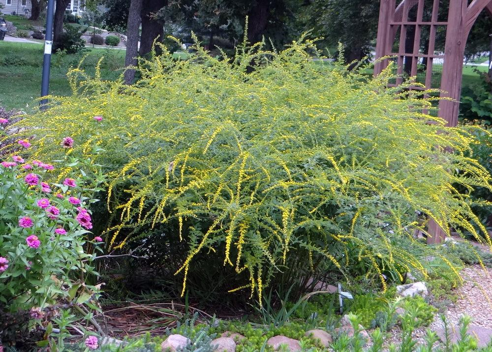 Photo of Rough Goldenrod (Solidago rugosa 'Fireworks') uploaded by stilldew