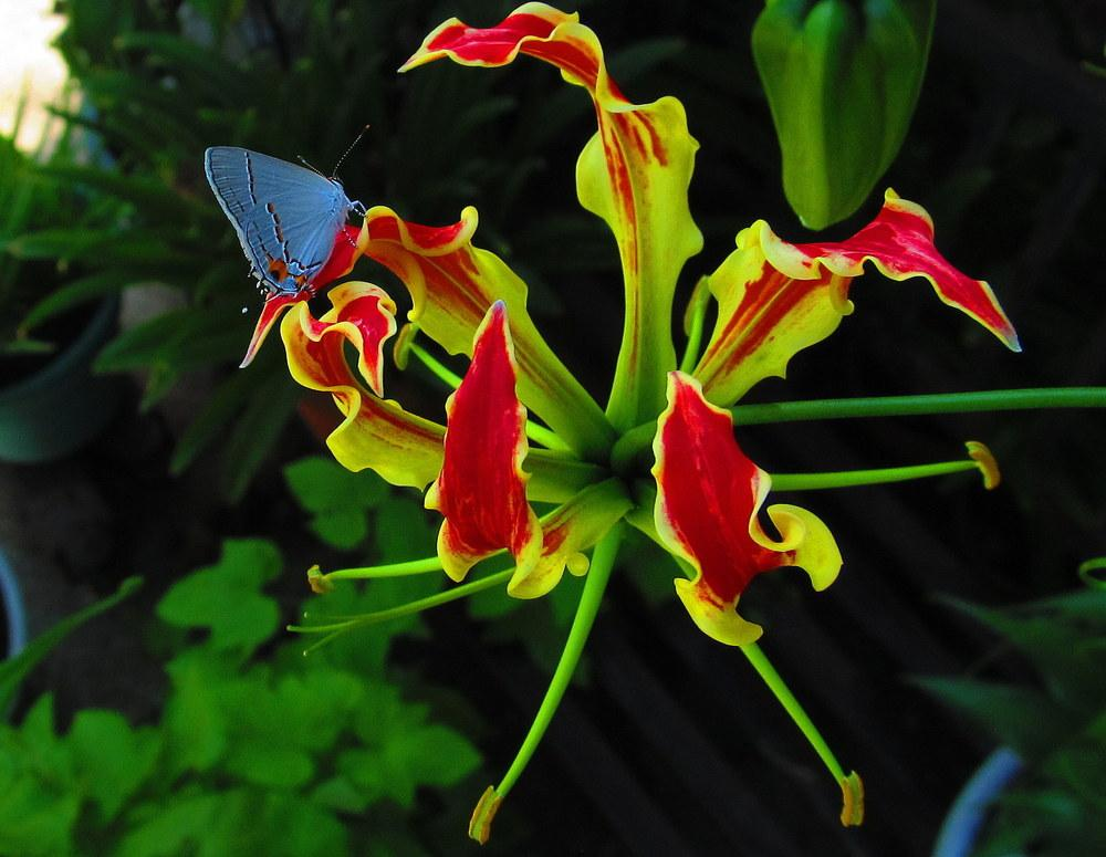 Photo of Gloriosa Lily (Gloriosa superba) uploaded by jmorth