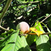 Location: central IllinoisDate: 2015-09-21Ripe on the tree.
