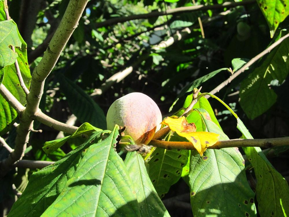 Photo of Pawpaw (Asimina triloba) uploaded by jmorth