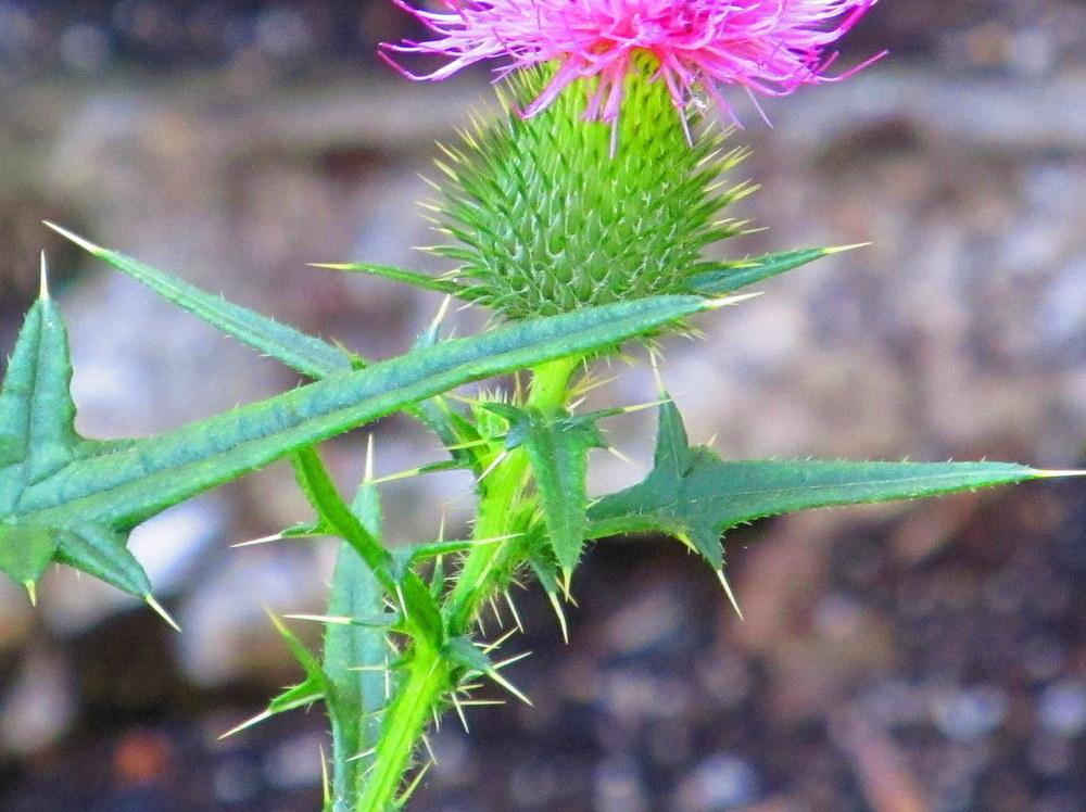 Photo of Thistle (Cirsium) uploaded by jmorth