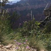 Location: Grand Canyon NP,  ArizonaDate: August 2015Purple Aster blooms while looking into the Grand Canyon