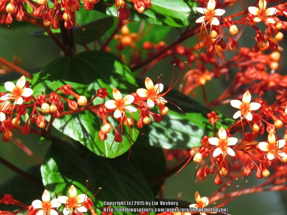 Photo of Pagoda Flower (Clerodendrum paniculatum) uploaded by plantladylin