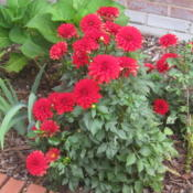 "Location: Concord, NC zone 7Date: 2015-09-23My $3 sale plant from Lowe's.  Labeled ""Dahlia hybrid.""  This ove"