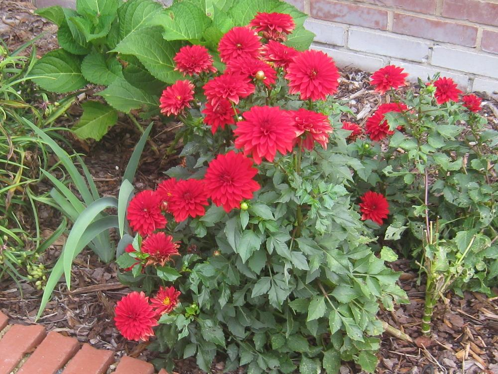 Photo of Dahlias (Dahlia) uploaded by Hemophobic