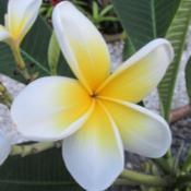 Location: Southwest FloridaDate: September 2015an un-named plumeria I call 'Eggyolk'; the blooms are 4 1/2 - 5""