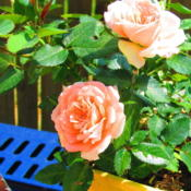 Location: central IllinoisDate: 5-23-12a miniature rose
