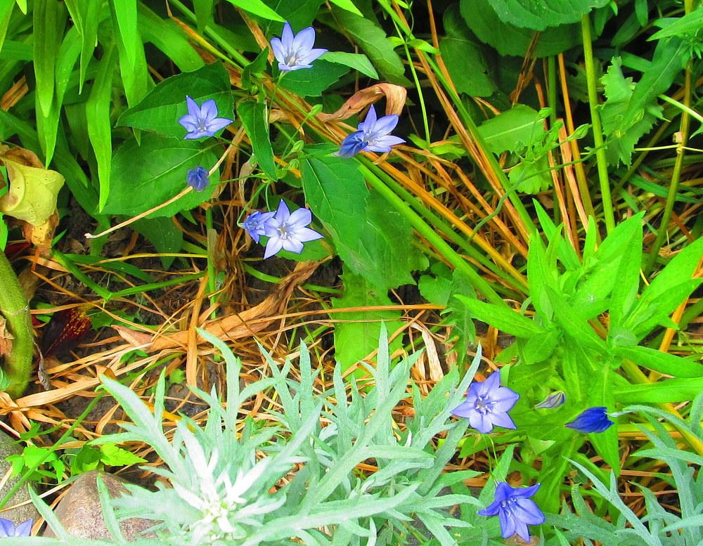 Photo of Ithuriel's Spear (Triteleia laxa) uploaded by jmorth