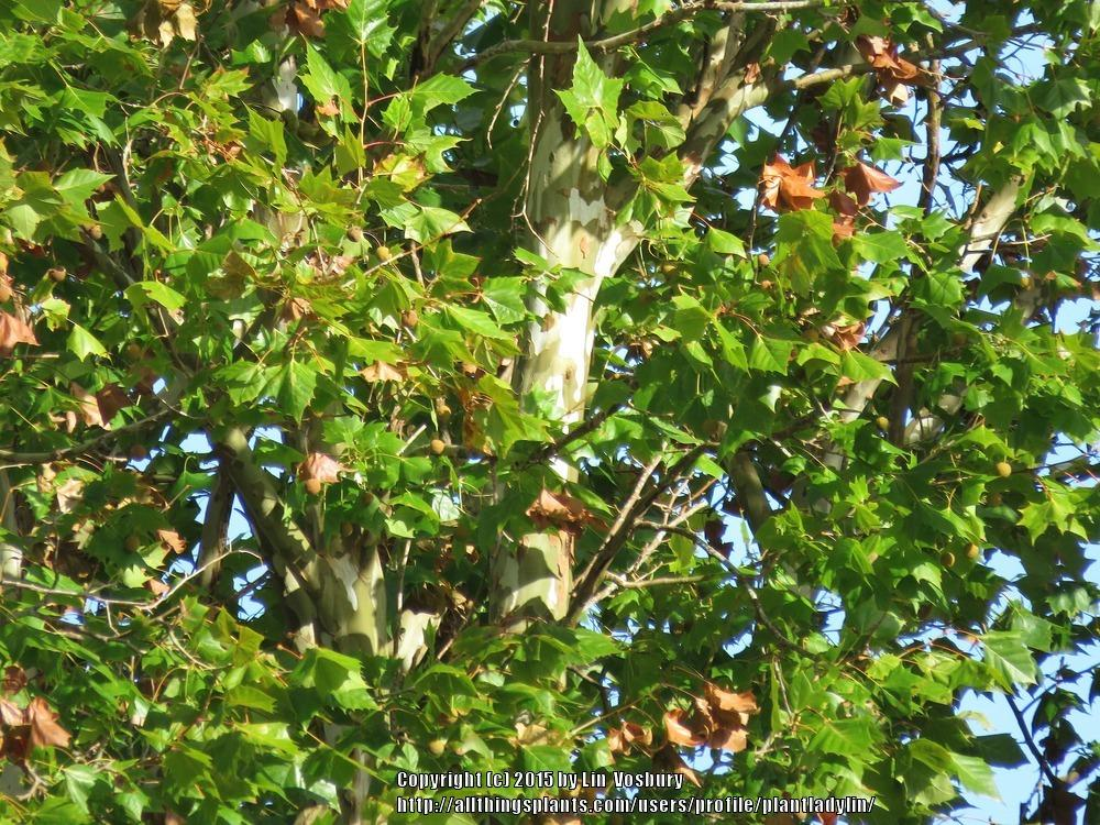 Photo of American Sycamore (Platanus occidentalis) uploaded by plantladylin
