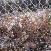 Location: NE Washington, Zone 5bDate: September 2015Dried-up plants that were growing along fence line with abundant