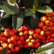 Location: Bristol, PennsylvaniaDate: 2015-09-25Autumn is here-the pyracantha berries are turning true orange in
