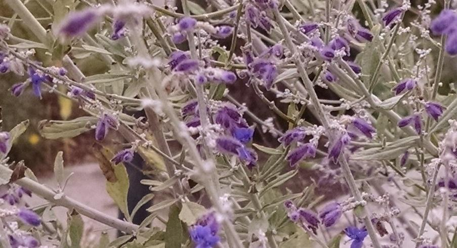 Photo of Russian Sage (Perovskia 'Little Spire') uploaded by Catmint20906