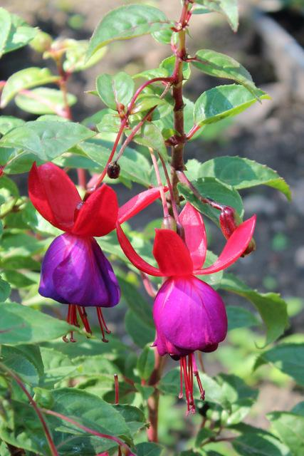 Photo of Lady's Eardrops (Fuchsia 'Schwabenland') uploaded by RuuddeBlock