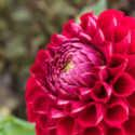 Dahlias Celebration Week Wrapup