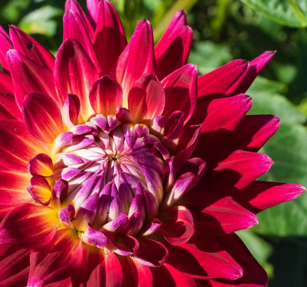 Photo of Dahlia 'Tahiti Sunrise' uploaded by frankrichards16