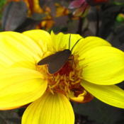 Location: central IllinoisDate: 2014-10-27Moth is a Yellow Collared Beet Moth