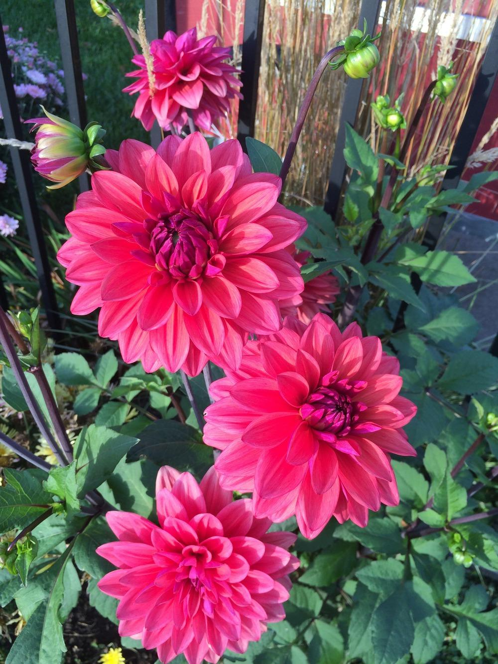 Photo of Dahlia 'American Dawn' uploaded by jvdubb
