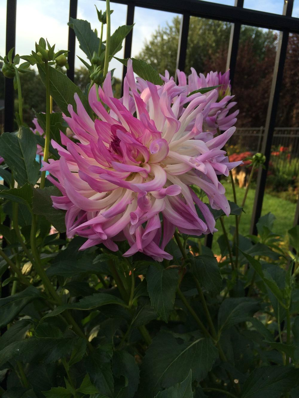Photo of Dahlia 'Bold Accent' uploaded by jvdubb