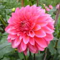 Dahlias in all shapes and sizes