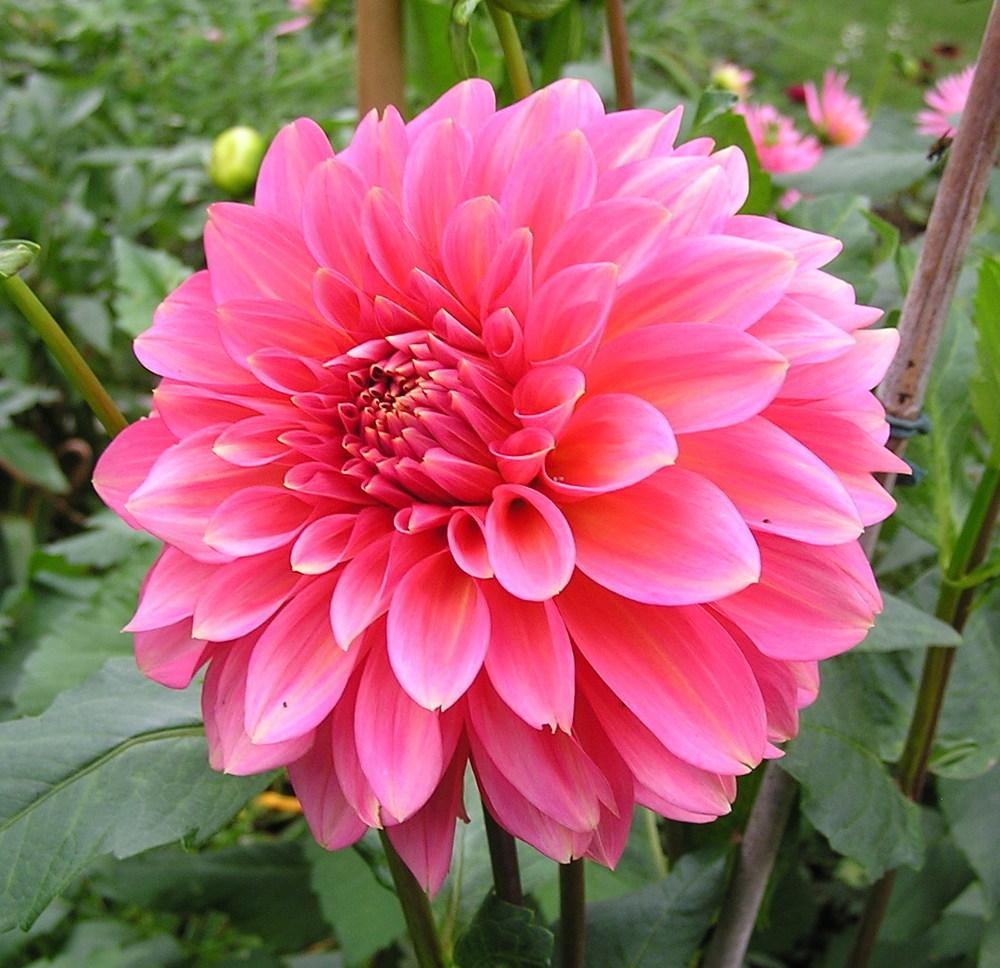 Dahlias In All Shapes And Sizes Garden