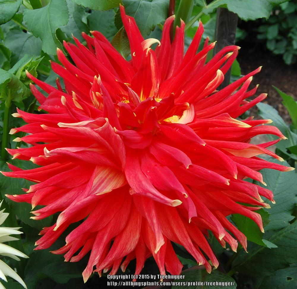 Photo of Dahlia 'Dauntless' uploaded by treehugger