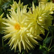 Listed as Dahlia 'Billy' but can find no such name anyw