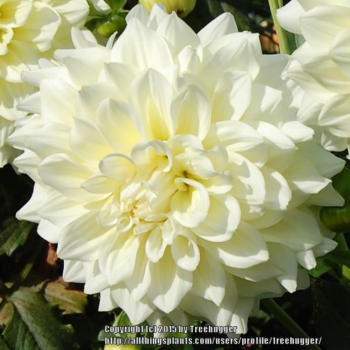 Photo of Dahlia 'Cynthia Louise' uploaded by treehugger