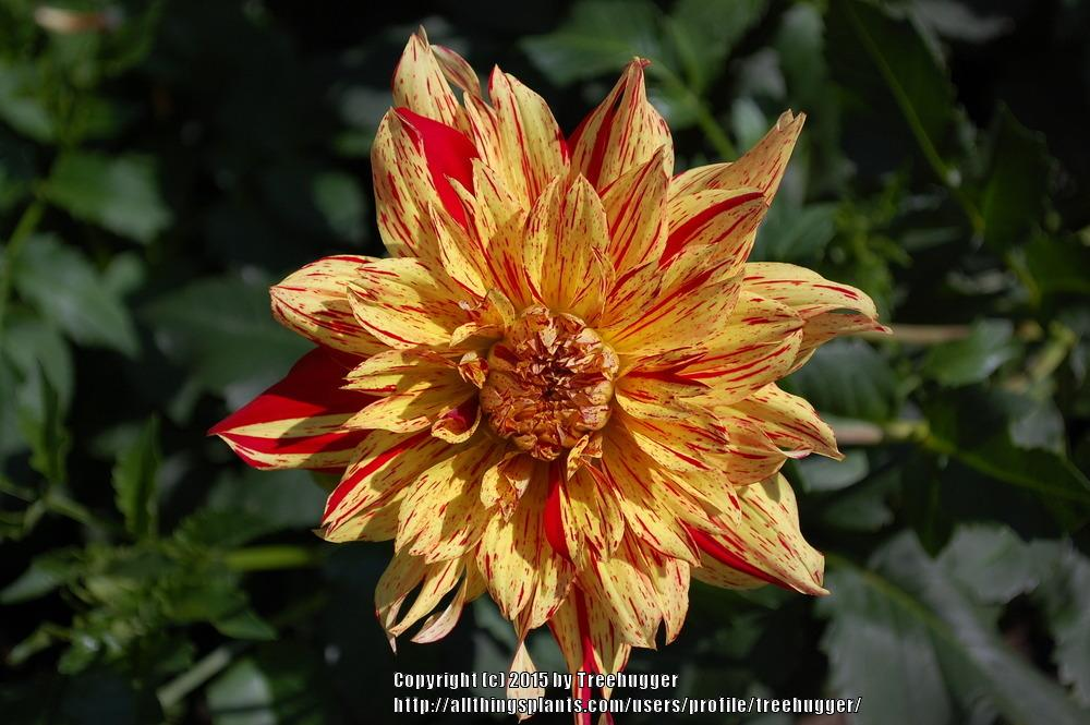 Photo of Dahlia 'Striped Vulcan' uploaded by treehugger