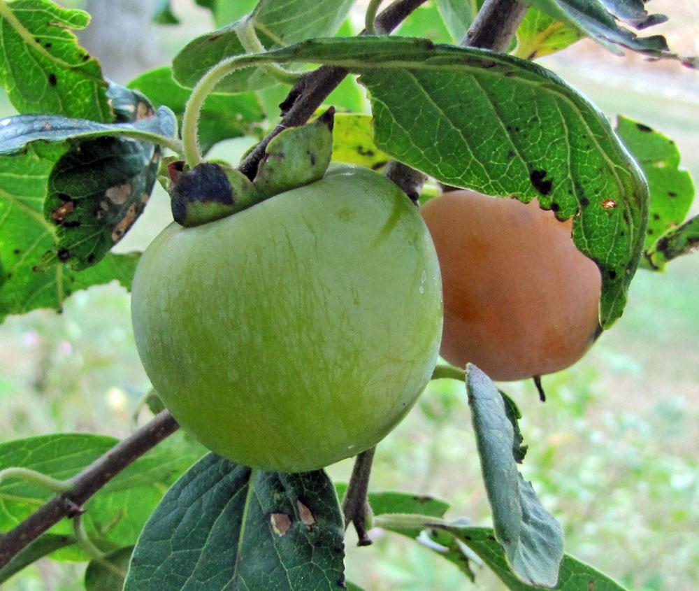 Photo of American Persimmon (Diospyros virginiana) uploaded by TBGDN