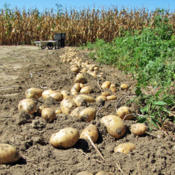 Location: My GardensDate: September 21, 2015Dug Tubers; Drying In Row