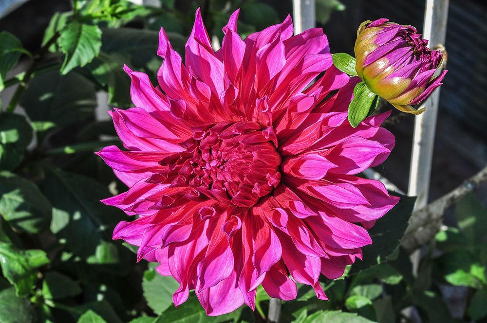 Photo of Dahlia 'Ed Black' uploaded by robertduval14