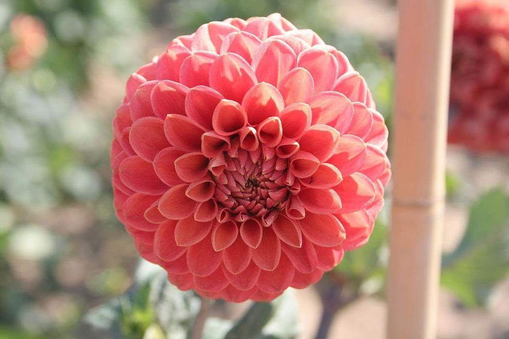 Photo of Decorative Dahlia (Dahlia 'Jomanda') uploaded by robertduval14