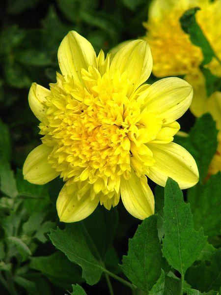 Photo of Dahlia 'Guinea' uploaded by robertduval14