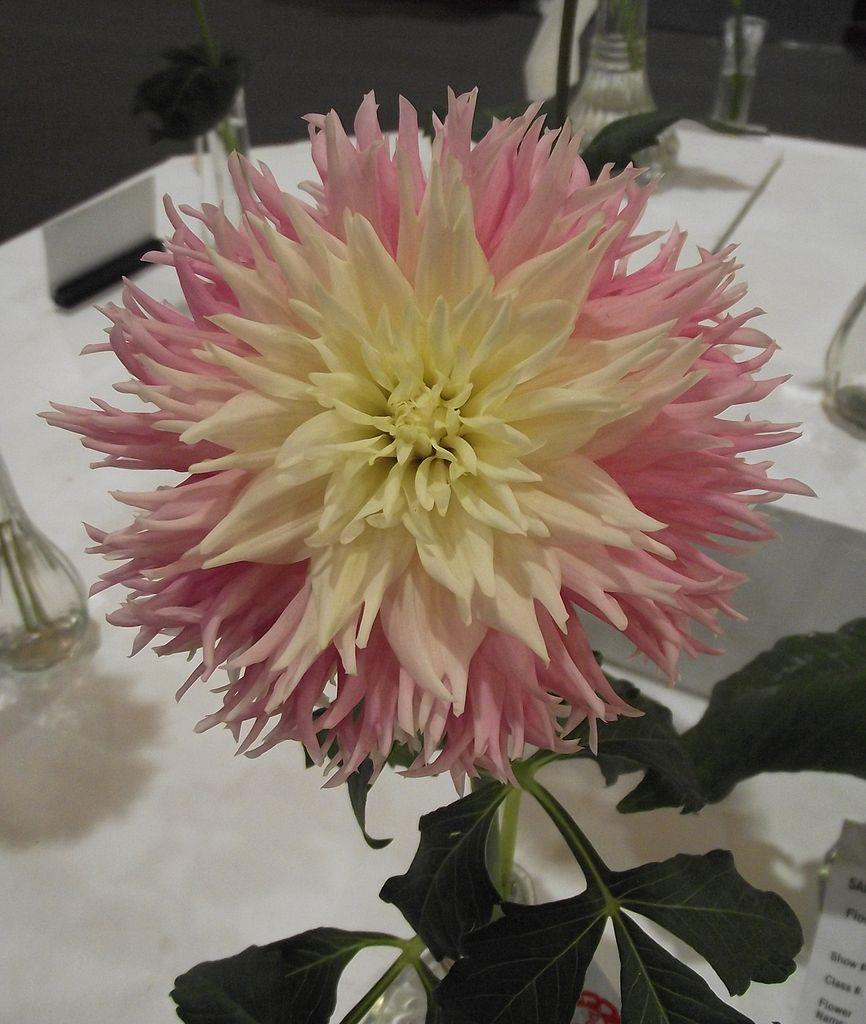 Photo of Dahlia 'Just Married' uploaded by robertduval14