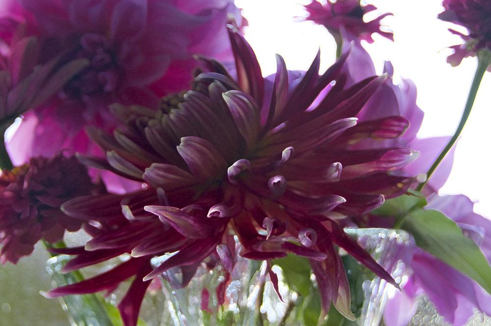 Photo of Dahlias (Dahlia) uploaded by Fleur569