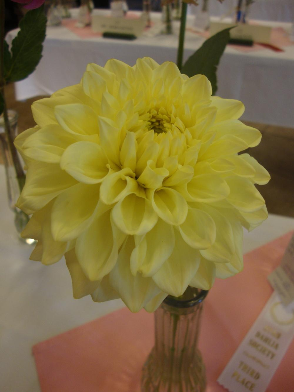 Photo of Dahlia 'Pineapple Express' uploaded by Paul2032