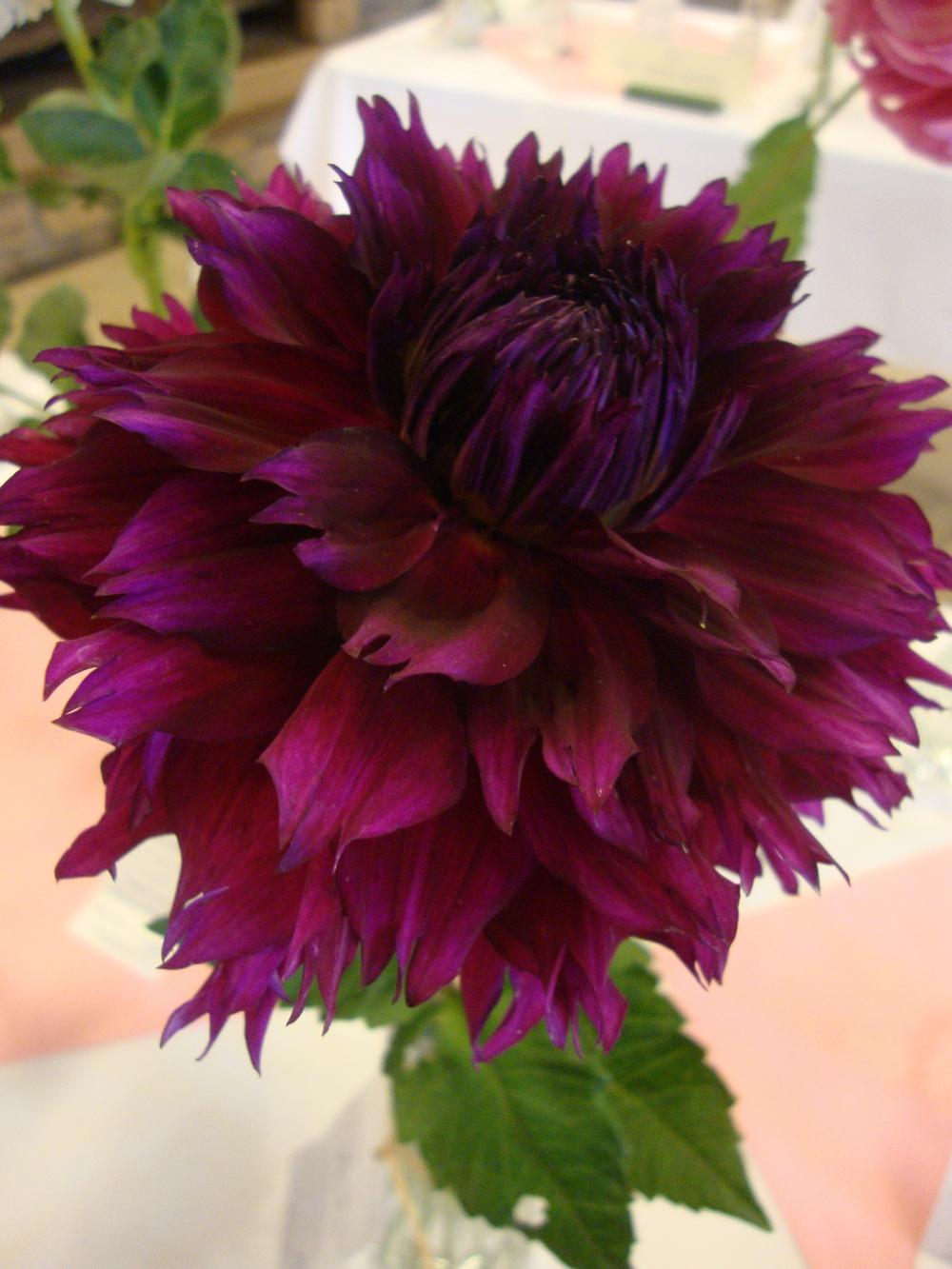 Photo of Dahlia 'Imperial Wine' uploaded by Paul2032