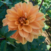 Location: Clinton, Michigan 49236Date: 2015-09-28Dahlia 'Teddy'