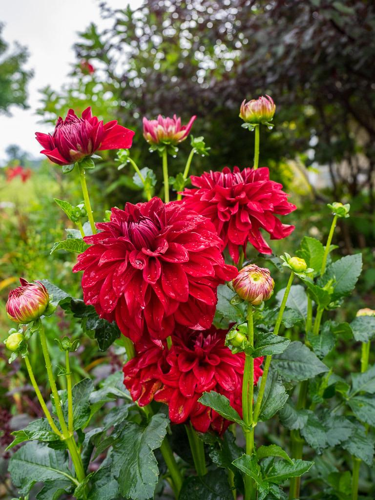 Photo of Dahlia 'American Beauty' uploaded by frankrichards16