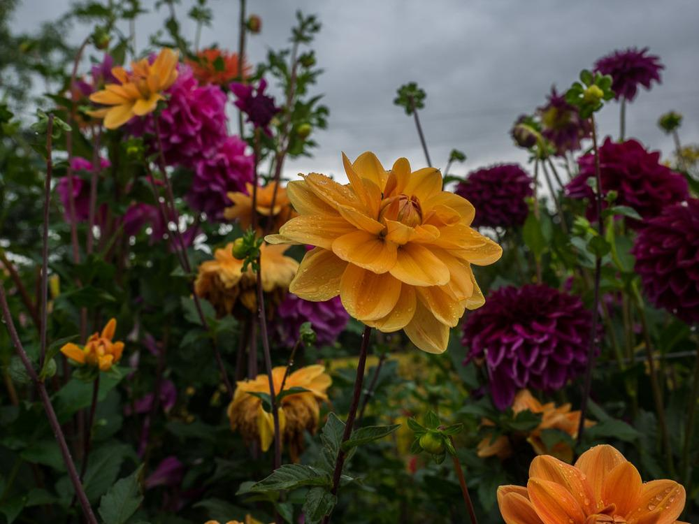 Photo of Dahlia 'Teddy' uploaded by frankrichards16