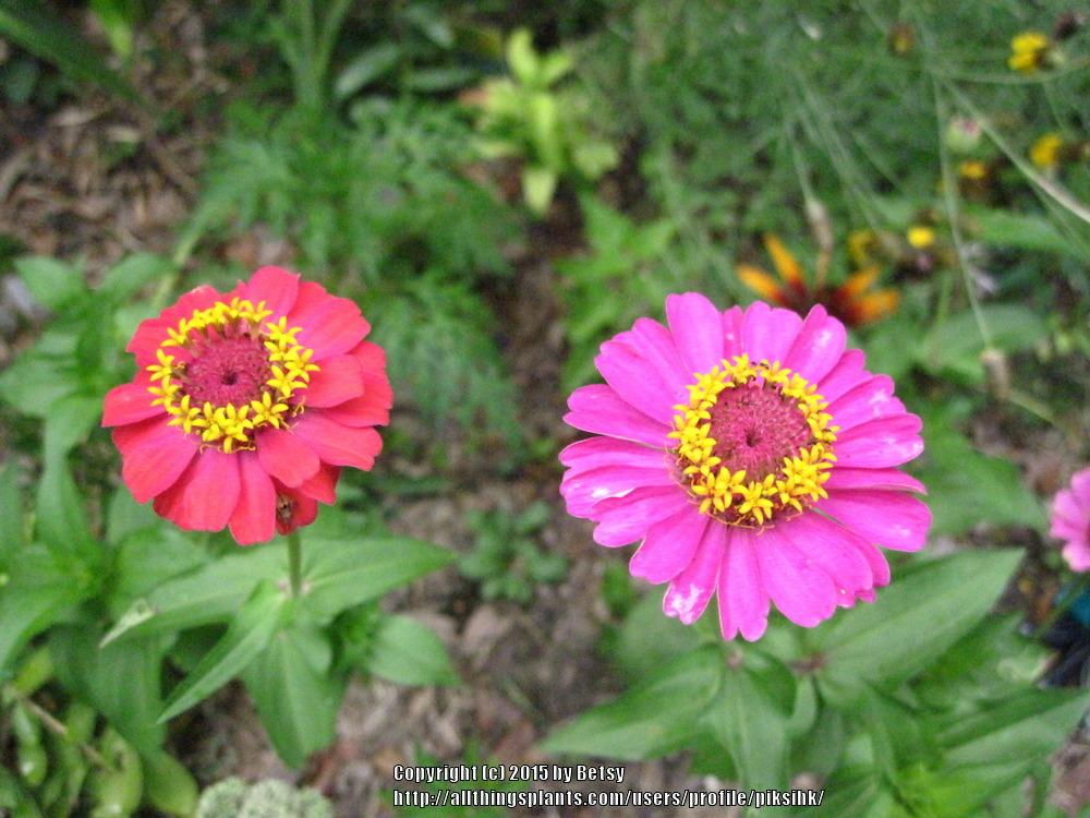 Photo of Zinnia (Zinnia pumila 'Cut & Come Again') uploaded by piksihk