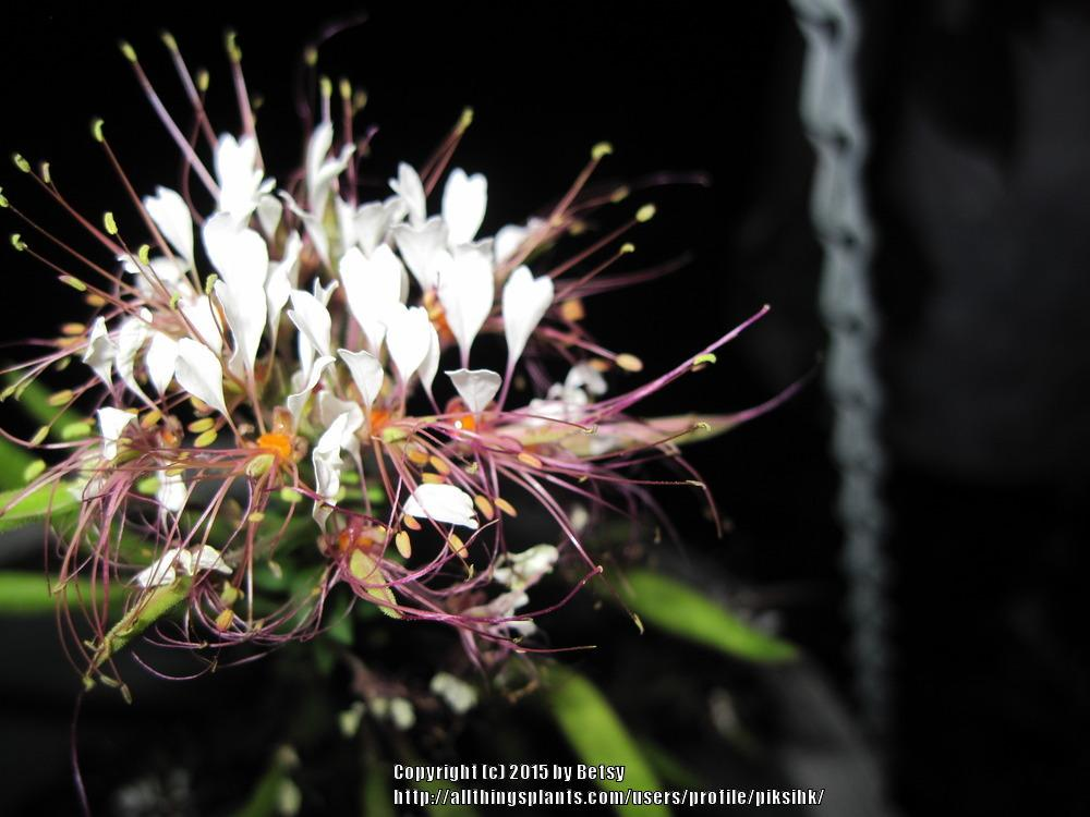 Photo of Cleome uploaded by piksihk